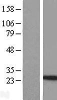 NBL1-11945 - Interleukin-24 Lysate
