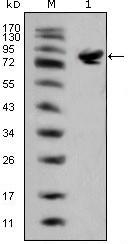 NBP1-47439 - Islet-1 / ISL1