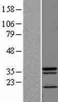 NBL1-08167 - JAMP Lysate