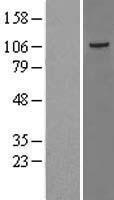 NBL1-16698 - JIK Lysate