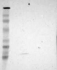 NBP1-87886 - JM4 / PRAF2