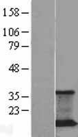 NBL1-14721 - JM4 Lysate