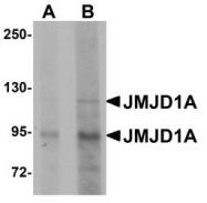 NBP1-77070 - KDM3A / JHDM2A