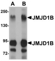 NBP1-77071 - JMJD1B / KDM3B