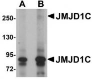 NBP1-77072 - JMJD1C / TRIP8