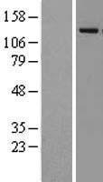 NBL1-12103 - Lysine-specific demethylase 4A Lysate