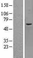 NBL1-12105 - JMJD2D Lysate