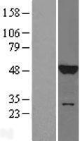 NBL1-12884 - JNK1 Lysate