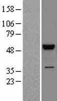 NBL1-12885 - JNK2 Lysate