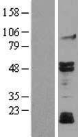 NBL1-12867 - JNK3 Lysate