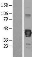 NBL1-12098 - Junctional Adhesion Molecule C Lysate
