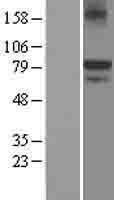 NBL1-12120 - KAL1 Lysate