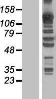 NBL1-12122 - KANK4 Lysate