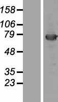 NBL1-12133 - KBTBD5 Lysate