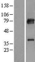NBL1-12135 - KBTBD7 Lysate
