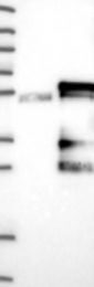 NBP1-84284 - KCMF1