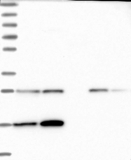 NBP1-85835 - KCNE1L