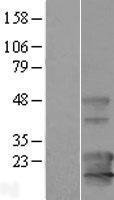 NBL1-12148 - KCNE1L Lysate