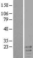 NBL1-12150 - KCNE3 Lysate