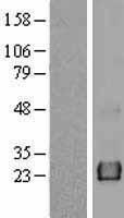 NBL1-12151 - KCNE4 Lysate