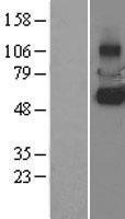 NBL1-12155 - KCNH6 Lysate
