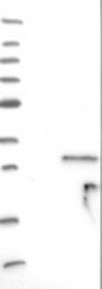 NBP1-81560 - KCNIP1 / VABP