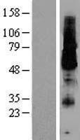 NBL1-12181 - KCNK18 Lysate