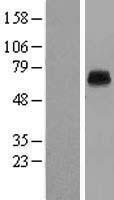 NBL1-12186 - KCNK5 Lysate