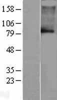 NBL1-12195 - KCNN3 Lysate