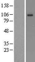 NBL1-12199 - KCNQ3 Lysate