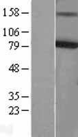 NBL1-12200 - KCNQ4 Lysate