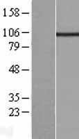 NBL1-12201 - KCNQ5 Lysate