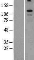 NBL1-12205 - KCNT2 Lysate