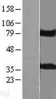 NBL1-12207 - KCTD10 Lysate