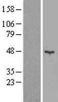 NBL1-12213 - KCTD16 Lysate