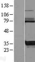 NBL1-12214 - KCTD17 Lysate