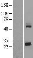 NBL1-12216 - KCTD5 Lysate