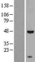 NBL1-12217 - KCTD9 Lysate