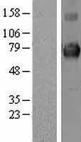 NBL1-12225 - KEAP1 Lysate