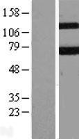 NBL1-12226 - KEAP1 Lysate