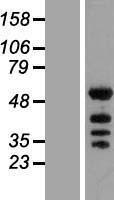 NBL1-12230 - KHDRBS2 Lysate