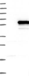 NBP1-84774 - KHDRBS3