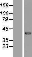 NBL1-12231 - KHDRBS3 Lysate