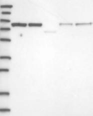 NBP1-84719 - KHSRP