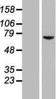 NBL1-12233 - KIAA0020 Lysate