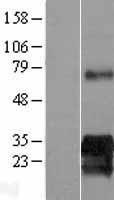 NBL1-12240 - KIAA0247 Lysate