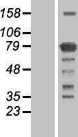 NBL1-12242 - KIAA0323 Lysate