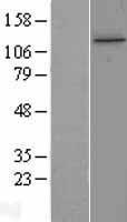 NBL1-12245 - KIAA0406 Lysate