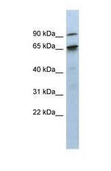NBP1-57319 - KIAA0427