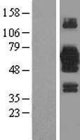 NBL1-12248 - KIAA0494 Lysate